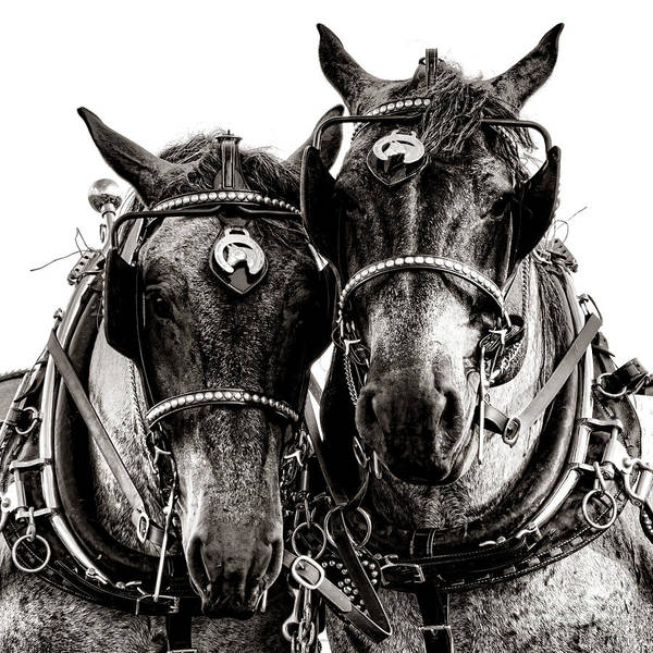 Belgian Photograph - Horse Power by Olivier Le Queinec
