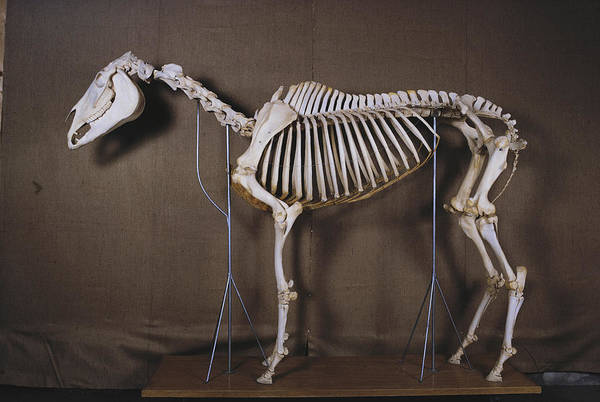 Wall Art - Photograph - Horse Skeleton by Elisabeth Weiland