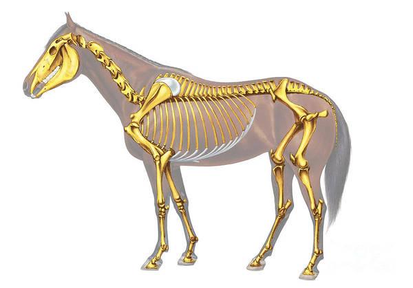 Photograph - Horse Skeleton Illustration by Bsip
