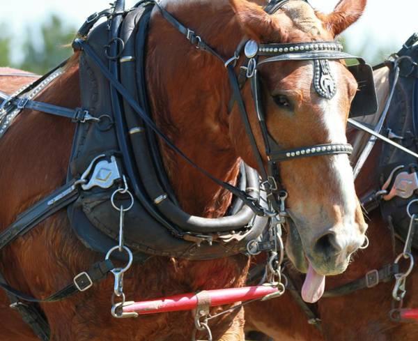 Plow Horses Photograph - Horse Tongue by Dan Sproul