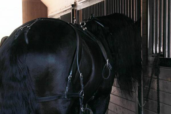 Photograph - Horse Under Harness by Carol Whitaker