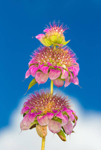Photograph - Horsemint Flower Tiers Against Clouds And Sky by Steven Schwartzman