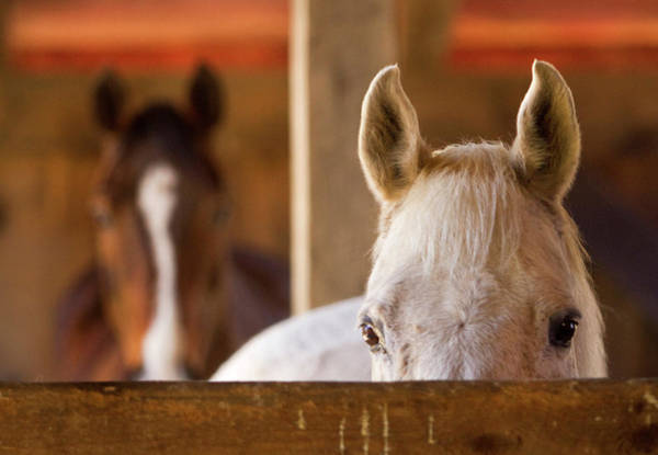 Conn Wall Art - Photograph - Horses Are All Ears Up During Feeding by Carl D. Walsh
