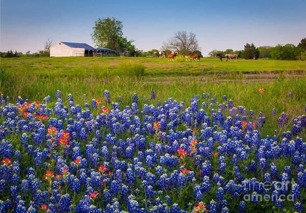 Texas Bluebonnet Photograph - Horses Coming Home by Inge Johnsson