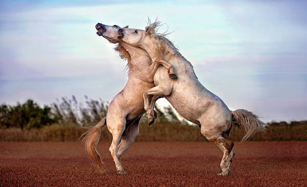 Dueling Wall Art - Photograph - Horses Fighting by Xavier Ortega