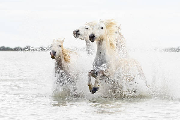 Splash Photograph - Horses  Hight Key by Ciro De Simone