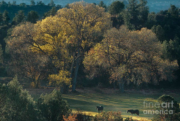 Photograph - Horses In A Backlit Field With Fall Colored Trees Sedo by Dave Welling