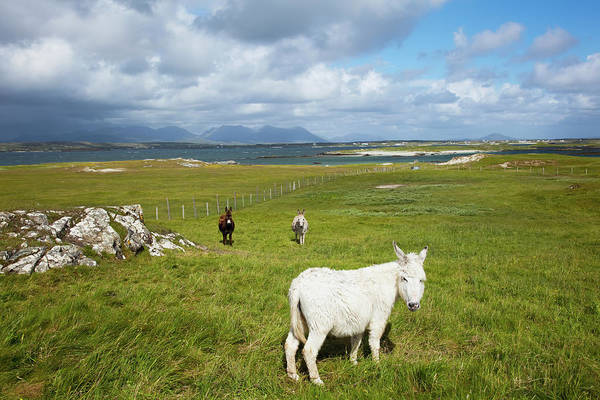 Connemara Photograph - Horses In A Field With Mannin Bay And by Peter Zoeller / Design Pics
