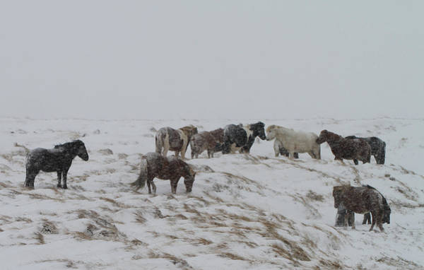 Herd Of Horses Wall Art - Photograph - Horses In Snow by Sverrir Thorolfsson Iceland