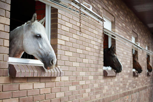 Mare Photograph - Horses Looking From The Windows Of A by O sa
