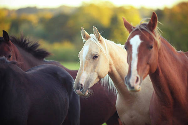 Palomino Photograph - Horses by Olivia Bell Photography