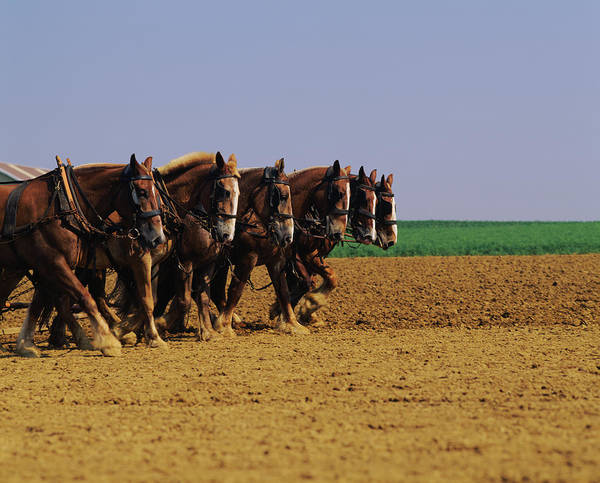Plow Horses Photograph - Horses Pulling Plow In A Field by Animal Images