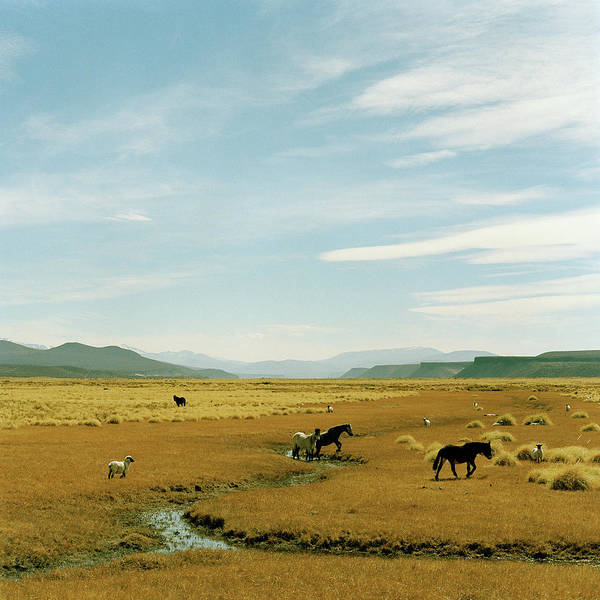 Wall Art - Photograph - Horses Roaming In A Field, Andes by Christian Aslund