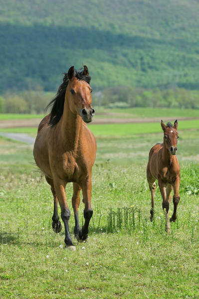 Mare Photograph - Horses Running In Summer Pasture, Mare by Catnap72