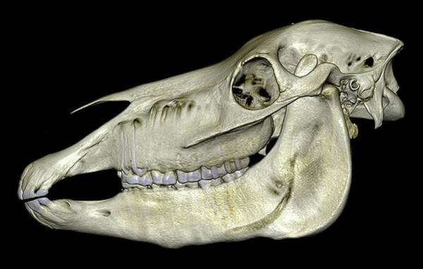 Temporal Bone Wall Art - Photograph - Horse's Skull by Anders Persson, Cmiv