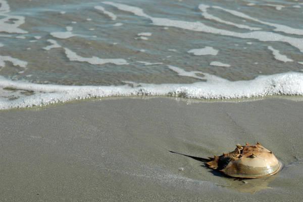 Photograph - Horseshoe Crab On Cumberland Island by Bruce Gourley