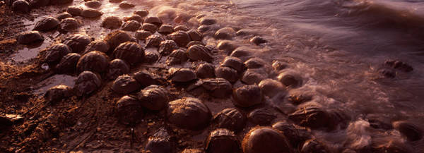 The Horseshoe Wall Art - Photograph - Horseshoe Crabs Limulus Polyphemus by Panoramic Images