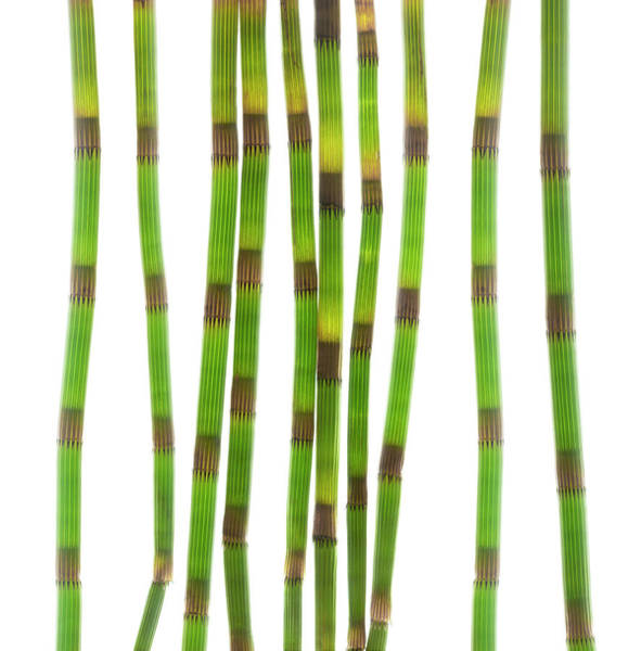 Grass Snake Photograph - Horsetail Stems (equisetum Sp.) by Gustoimages/science Photo Library