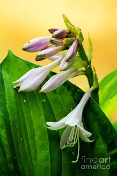 Photograph - Hosta In Bloom by Trina  Ansel