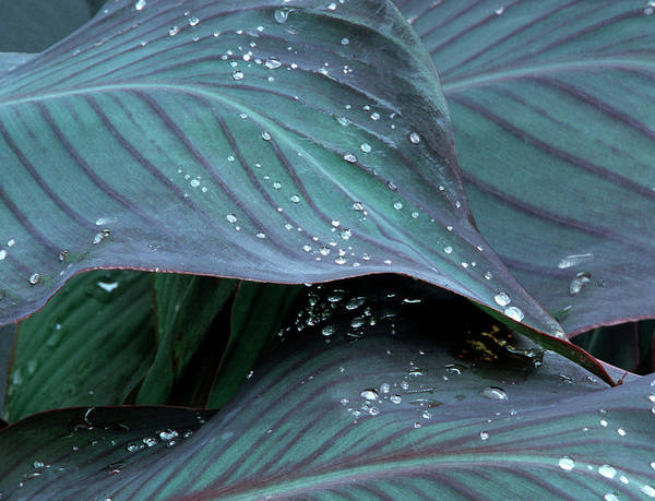 Anna Photograph - Hosta Leaf With Dew, Close-up by Anna Miller