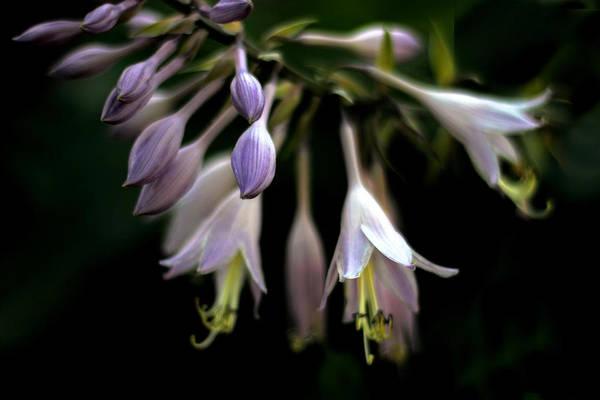 Photograph - Hosta Petals by Jessica Jenney