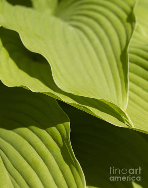 Single Leaf Wall Art - Photograph - Hosta by Tony Cordoza