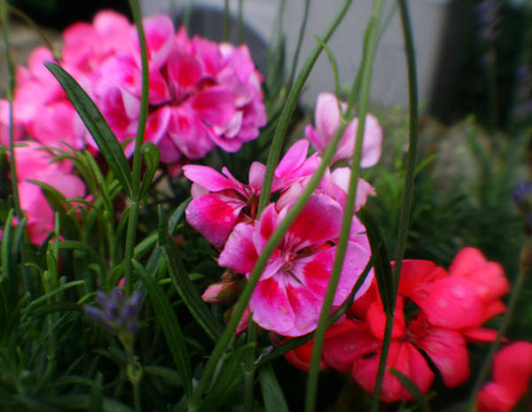Photograph - Hot Pink Beautiful Blossoms by Doc Braham