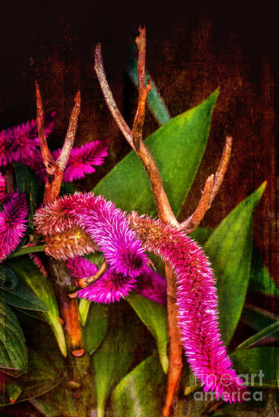 Photograph - Hot Pink Cockscomb by Dave Bosse