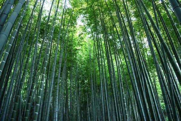Kamakura Wall Art - Photograph - Houkokuji Bamboo Forest by Chikako Nobuhara