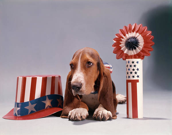 Wall Art - Photograph - Hound Dog Lying Down Next To Patriotic by Animal Images