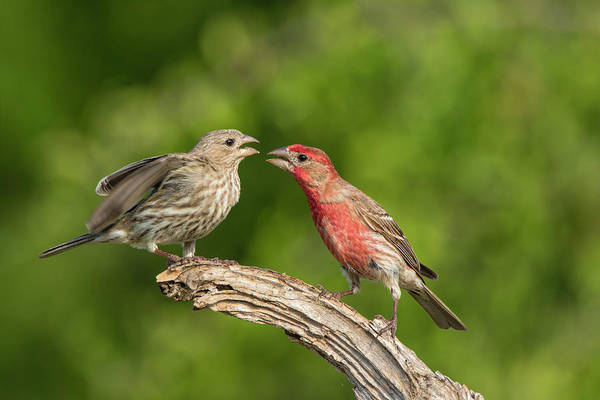 Mating Ritual Photograph - House Finch, Carpodacus Mexicanus, Pair by Larry Ditto