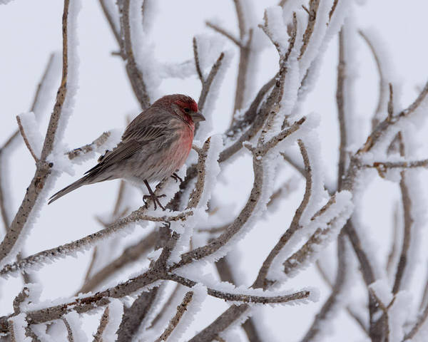 House Finch Photograph - House Finch by Ernie Echols