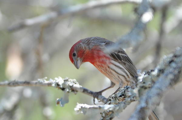 Photograph - House Finch by Frank Madia