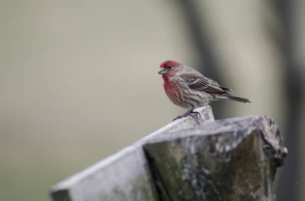 Photograph - House Finch by Heather Applegate
