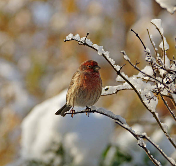 Photograph - House Finch In Snow by Sandy Keeton