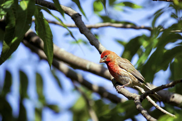 Photograph - House Finch by Jason Politte
