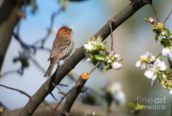 Bird House Photograph - House Finch by Mike Dawson