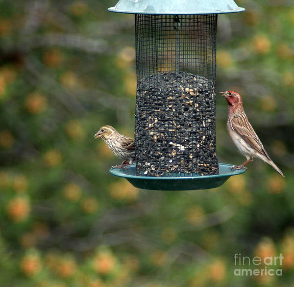 Photograph - 711a House Finch by NightVisions