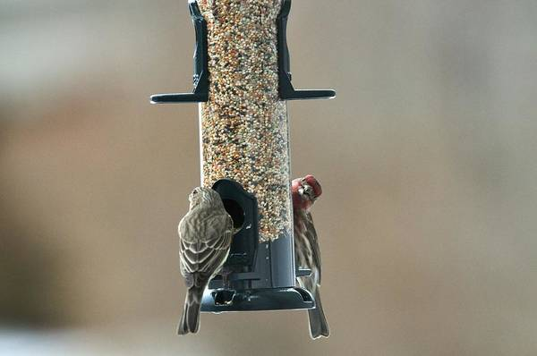 Photograph - House Finch Pair by Walt Sterneman