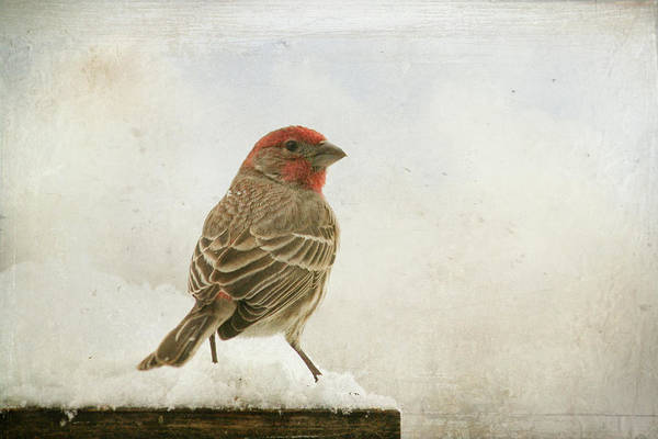 House Finch Photograph - House Finch by Pamela R. Schmieder