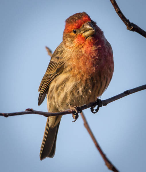 Photograph - House Finch by Ricky L Jones