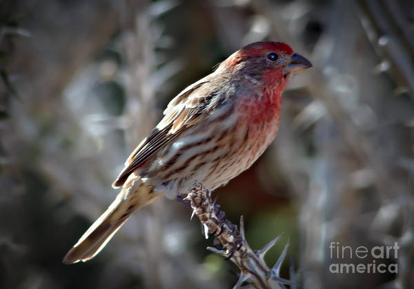 Chirping Photograph - House Finch by Robert Bales