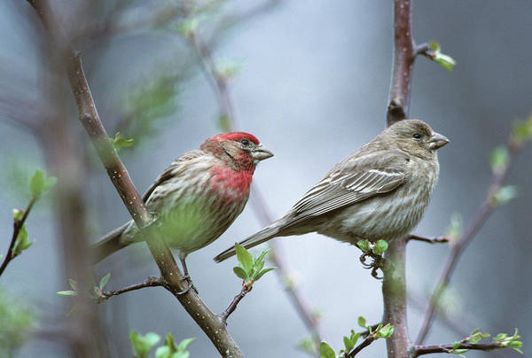 House Finch Photograph - House Finches, Male And Female by Animal Images