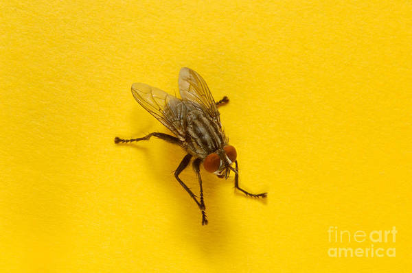 Photograph - House Fly by Novastock