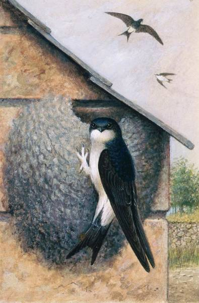 Mud House Photograph - House Martin by Natural History Museum, London/science Photo Library