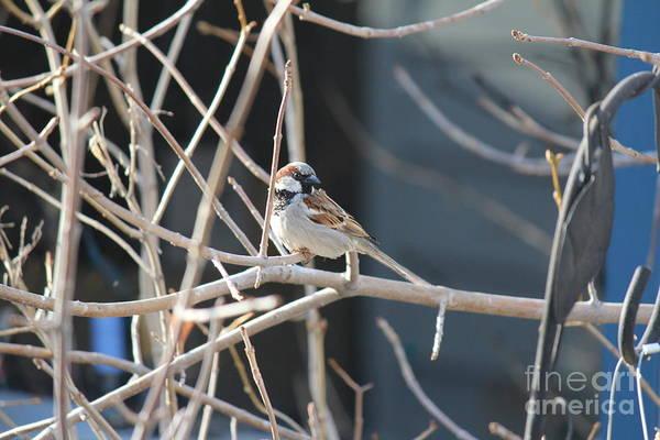 Photograph - House Sparrow by Ann E Robson