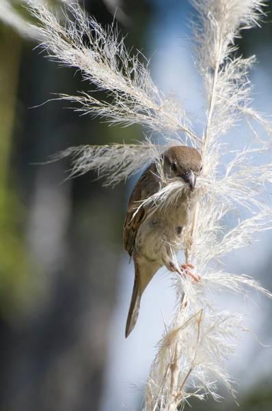 House Sparrow Photograph - House Sparrow by Dr. John Brackenbury/science Photo Library