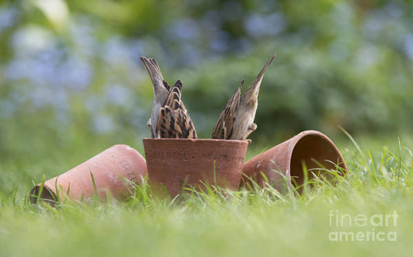 Bird House Photograph - House Sparrows Feeding by Tim Gainey