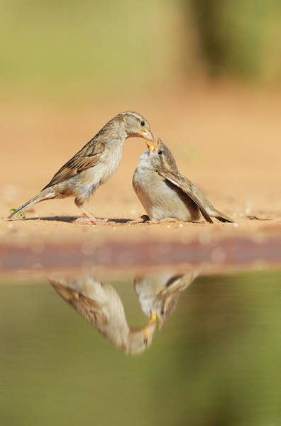 Wall Art - Photograph - House Sparrow Female Feeding Young, Rio by Rolf Nussbaumer