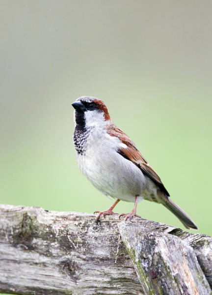 House Sparrow Photograph - House Sparrow by John Devries/science Photo Library